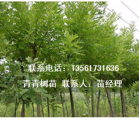 2-12公分粗刺槐