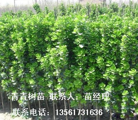 20-3米北海道黄杨